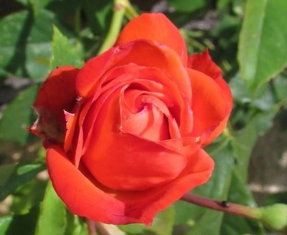 Rose Alphonsine