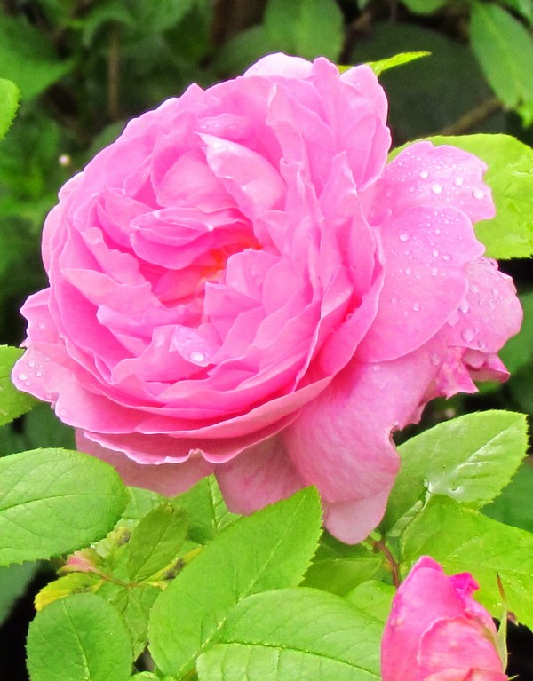 Rose anglaise mary rose